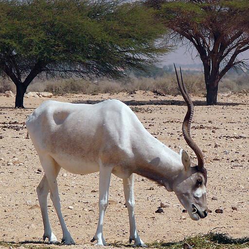 animal at Ein Yotvata