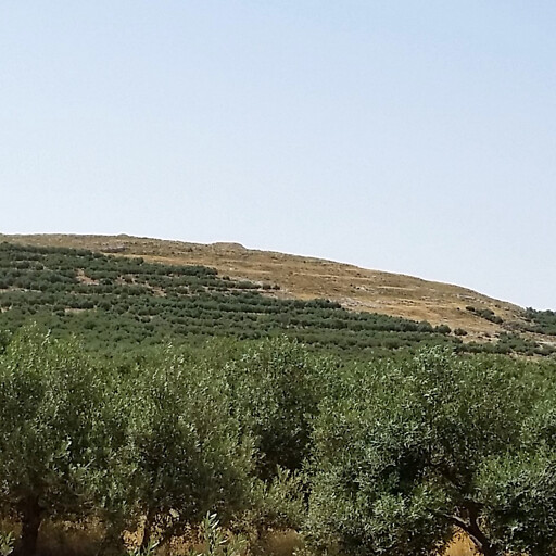 panorama of Khirbet Teku'a, which is in the distance at center