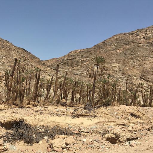 trees along Wadi Feiran
