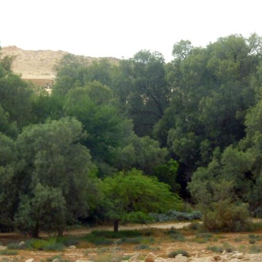trees at Birein