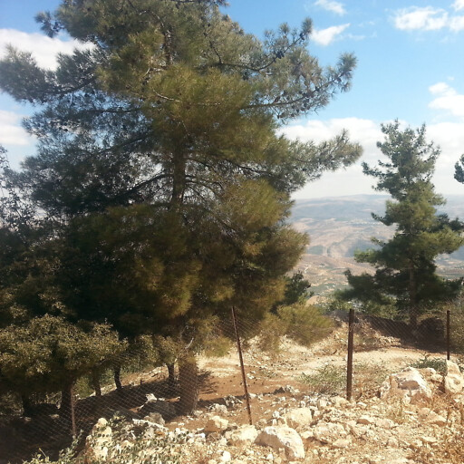 trees in the Ajloun Forest Reserve