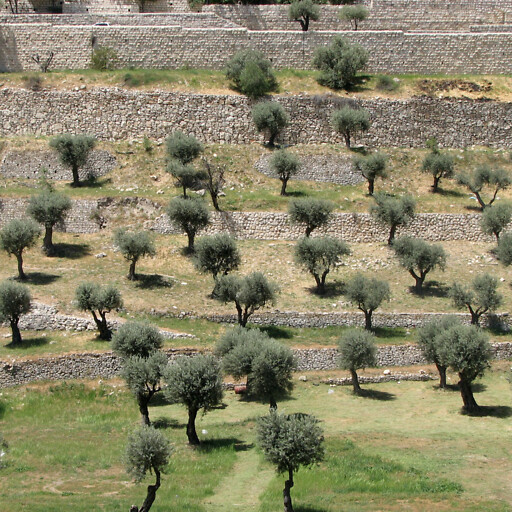 trees in the Valley of Jehoshaphat